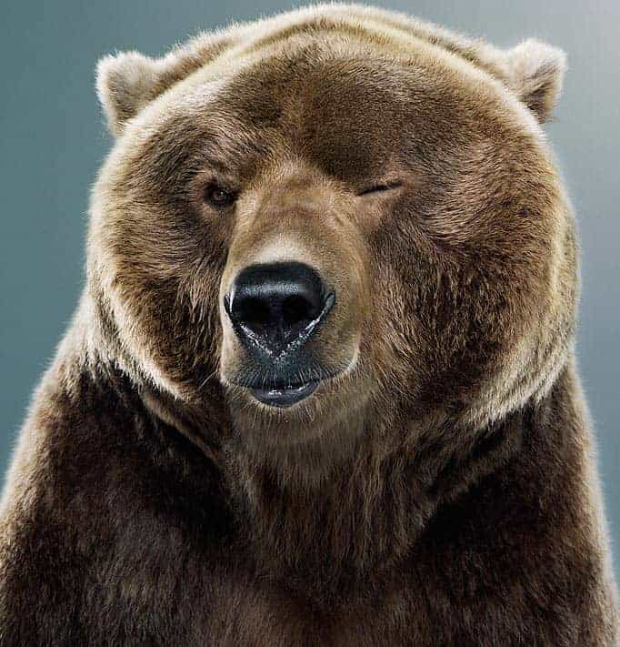 This image has an empty alt attribute; its file name is bear-blinkkig-eyes.jpg